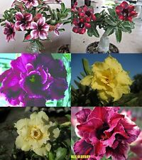 "NEW ADENIUM ""Mixed"" SIX GRAFTED PLANTS RARE!!"