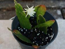 Epiphyllum Orchid Cactus Succulent  plant Pumilum 3 rooted Cutting Pot