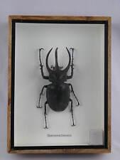 Chalcosoma Caucasus XXL in 3D - echtes riesiges Insekt im Schaukasten aus Holz