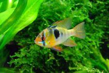GERMAN BLUE RAM RAMIREZI DWARF CICHLID LIVE TROPICAL FISH AQUARIUM TANK STUNNING