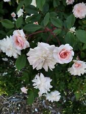 Cecile Brunner, Sweetheart rose, Shrub, ramber plant