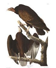 1830 John Audubon - Turkey Buzzard Vulture - Cathartes Atratus Havell Edition