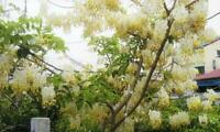 2019! New!10 seeds Cassia fistula Golden shower, Indian laburnum, White