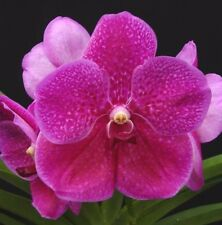 VANDA PATS DELIGHT seedling Orchid plant in 100mm hanging pot
