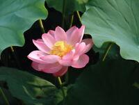 Flor de Loto -  Nelumbo nucifera - planta aquática -   3 Semillas seeds