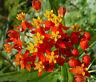 BLOOD FLOWER SCARLET MILKWEED Asclepias Curassavica - 1,200 Bulk  Seeds