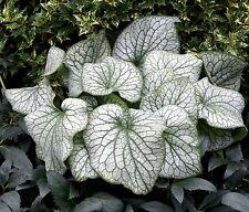BRUNNERA macrophylla 'Alexander's Great' - Hardy Perennial Plant ex 1 Litre Pot