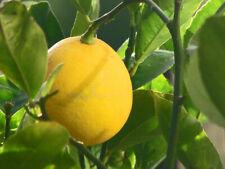 Citrus limon MEYER IMPROVED LEMON Tree SEEDS!