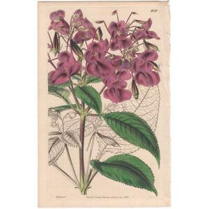 Curtis Botanical Mag Hooker antique 1843 hand colored engraving 4020 Balsam