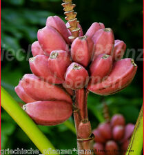 MUSA PINK VELVET * 10 Samen * winterhart * rosa essbare Bananen * Banane Palme