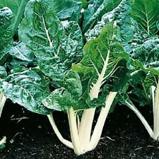 A 5g (approx. 280) swiss chard seeds LUCULLUS unique bright white stalks, rare v