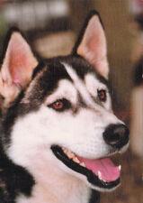 Polarhund * Schlittenhund * Husky * Malamute * DOG * Postkarte  Postcard  # 34
