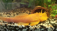 BREEDING PAIR Golden pleco Bristlenose Ancistrus catfish Plecostomos Aquarium