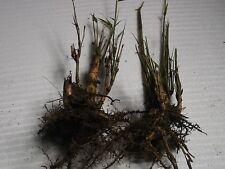 JARDIN ZEN ! LOT DE 2 RHIZOMES / PLANTS PLANTE BAMBOU RACINES A PLANTER