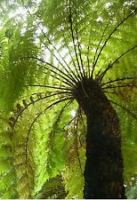 Dicksonia antarctica, hardy exotic tree, Fresh spores! Well over 20! Rare find!