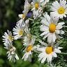 **STRAUCHMARGERITE  Saatgut exotische Pflanzen Garten Sämereien Balkon Terrasse