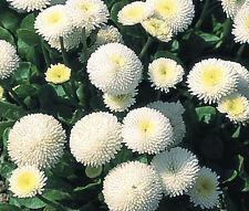 ENGLISH DAISY WHITE Bellis Perennis Super Enorma - 100 Seeds