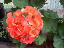15 Film Coated Geranium Maverick Orange Geranium Seeds