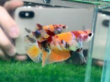 New listing [Ngf - 01000] Live Betta Fish Nemo Tiger Female
