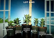 5 ADENIUM ARABICUM PLANTS DESERT ROSE THAI SOCO #J45 NANGPAYA RED BANGLE MKMK