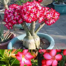 5PCS Rare Pink Adenium Obesum Desert Rose Flower Seeds Tree Plant Bonsai Seed