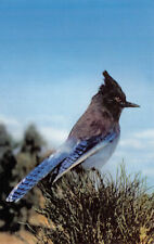 R101221 Steller Jay. Bluejay. Associates. S. Crocker