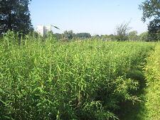 10 Stück Bambus Fargesia SuperJumbo 90-100cm hoch