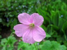 Rosa Cicogna becco-Geranium endressii