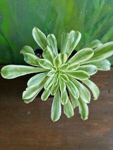 Aeonium arboreum Variegated Rare Succulent Collectors plant🌵