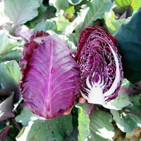 Seeds Cabbage Red Calibos Vegetable Seed Organic Heirloom Russian Ukraine