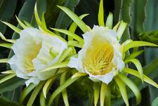 Kaktee Blumen Samen Rarität seltene Pflanzen schnellwüchsig KLETTERKAKTEE