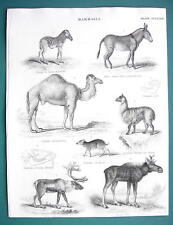 Mammals Zebra Camel Reindeer Elk Musk Alpaca - 1837 Fine Quality Print
