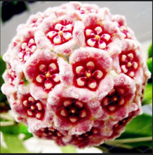 24 Color Orchid Ball Flowers Hoya Carnosa 100 Pcs Seeds Plants Bonsai Garden New