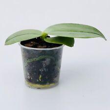 Phalaenopsis gigantea Orchidee, Orchid, Orchidea, Orchidée