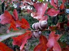 Oak Tree Seedling Dwarf Margaretta Quercus Attracts Wildlife Great Fall Color