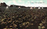Postcard A Tobacco Field near Marion, Alabama~122046