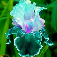 Reblooming Iris 2 Bulbs Mix Flowers Perennial Resistant Sweet Rare Exotic Plants