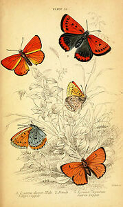 Vintage print poster Butterfly for glass frame 90cm