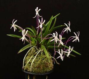 Orchid Species Vanda (Neof) falcata 'Shutennou' x self