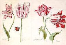 European Master Drawings: Four Tulips - Art Print