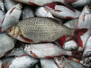 10 Köderfisch Rotauge Rotfeder Hechtköder Frostfische gefroren
