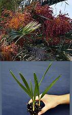 PHOENIX CANARIENSIS PORPHYROCARPA alveolo Palma frutti rossi pianta palm plant