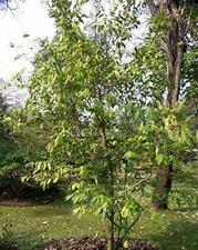 10 Seeds Melodorum fruticosum White Cheesewood Yard Tree #Ornamental