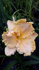 Hemerocallis -  Enchanted Forest -  Daylily - Cottage Garden Perennial