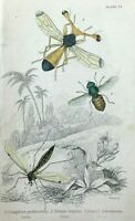 Jardine's Naturalist Library Crane Fly Ctenophora pectinicornis c1840 Original