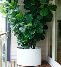 FIDDLE-LEAF FIG Ficus Lyrata popular office/house plant in 200mm pot