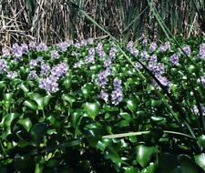 Purple water hyacinth/water flower/pond plants for sale
