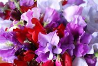Flower Seed: Sweet Pea Royal Mix 30 Seeds Annual  Fresh Seed  FREE Shipping