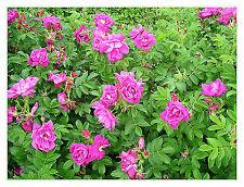 Rosa rugosa Exception-Ramanas Rose Plant in 9 cm pot