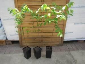 Juglans nigra - Schwarznussbaum - Winterharte Pflanze 70-90cm - Walnussbaum